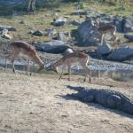 Impalas playing right next to crocodile - game drive day 2