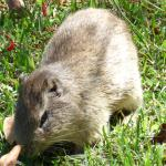 Brazilian Guinea Pig (Wild Cavy) on the lawn of the lodge