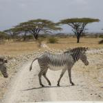 Zebra crossing at Samburu National Reserve.