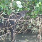 Tapir at Corcovado Nat'l Park