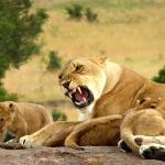 Lioness & cubs we saw in Masai Mara reserve