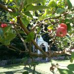Apples growing in the beautifully tended gardens