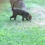 Coati in the grounds very tame