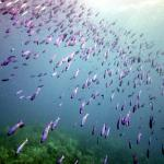 Purple school of fish