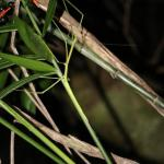 Female stick insect