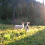 Llamas in the morning
