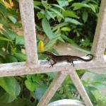 Lizard outside our room