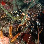 Spiny spotted lobster