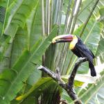 Toucan perched near Lost Iguana's dining area
