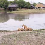 Lions at pond, Arathusa in background
