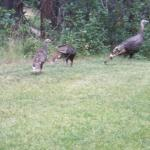 Wild turkeys near cabin