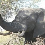 Seeing elephants in the Kruger