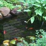 Fish pond amongst the ferns