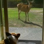 Resident deer meets visiting dog....