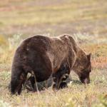 Grizzly bear from the Denali Park roa