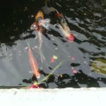 Koi Fish at the Base of the Fountain in the Outdoor Seating Area