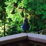Stellar Jay is in your face at Yosemite Big Creek Inn!!