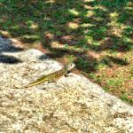 You will see this lizard everywhere on the grass area near the beach.. Kinda cool