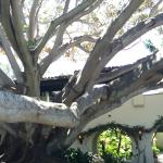 Fabulous old fig tree on hotel grounds