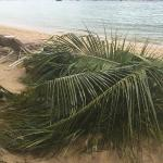 Parts of the fallen palm tree covering our beach chairs