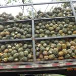 Truckload of pineapples outside the hotel