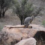 Yellow-footed rock wallaby - on tour