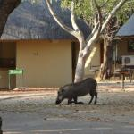 Warthogs and monkeys share the site