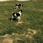 Dogs playing in field adjacent to Best Western Santa Fe in Amarillo, Texas