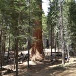 Trail of 100 Giants - check out the size of the tree compared to the people walking around the b
