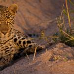 A wonderful leopard siting in the river bed.