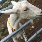 Goats, pigs, s donkey, turkeys, sheep, geese, and more