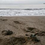 Hatchlings making their way to the ocean at Mt. Plaisir Estate Hotel