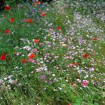 wildflowers in grounds