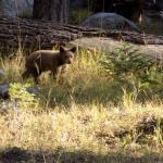 Baby bear in campground