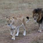 Lion pair oblivious to us as they are on nature's 'path.'