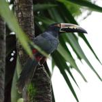 Collared Aracari (Toucan) seen from our room