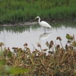 View of wetlands with egret from the motel parking lot
