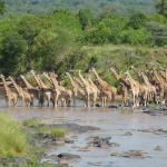 Giraffe crossing the Mara river during our bush breakfast
