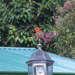 Flame-colored Tanager outside of my room