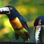 Collared Aracaris on the deck eating Papaya
