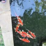 Some of the fish in the resort pond