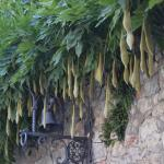 splendid wisteria seed pods on the main house walls