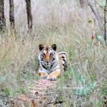 tiger cub in pench
