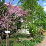 Redbud Tree at Front Walk