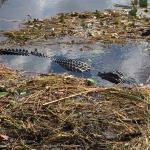 Buffalo Tiger's Airboat Tours Foto