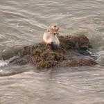Small sea lion