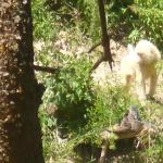 an albino baboon seen from our room with his chums