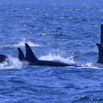 Puget Sound Orcas with Eclipse Charters