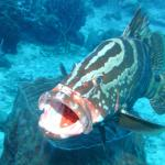 Did you know a groupers mouth inside is red?