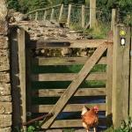 Willowford Chicken Guards Hadrian's Wall Access